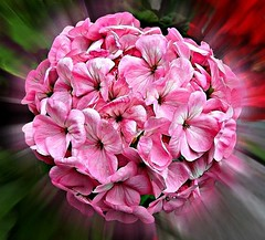 Beautiful Hydrangea .. (** Janets Photos **) Tags: uk pink flowers effects flora zoom hydrangea masterphotos artisticflowers takenwithlove unitedworldphotographers mindigtopponalwaysontop lovelyflickr thegoldenachievement goldenachievement dreamlikephotos takenwithhardwork lovelynewflickr