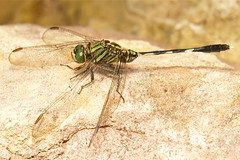 Dragonfly (John Horstman (itchydogimages, SINOBUG)) Tags: china macro insect dragonfly yunnan odonata itchydogimages sinobug