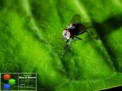 Green Platform (Brian D' Rozario) Tags: city urban macro green nature animal closeup insect fly nikon natural wildlife flash insects flies dhaka bangladesh cls housefly extensiontube greatnature creativelightingsystem d7k d7000 briandrozario brian19869