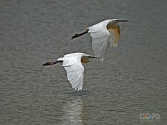 The Pair (GOPAN G. NAIR [ GOPS Photography ]) Tags: birds photography fly flight migratory karnataka gops birdsofindia gopsorg gopangnair gopsphotography