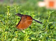 crow pheasant (TARIQ HAMEED SULEMANI) Tags: travel summer tourism nature colors birds canon sensational tariq skardu supershot concordians sulemani theperfectphotographer tariqhameedsulemani