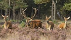 Red Deer (Wim Boon (wimzilver)) Tags: nature netherlands nederland natuur 7d reddeer edelhert nationalparkdehogeveluwe canon300mmf4lis wimzilver canon300mmf4lis14ex hertenbronst