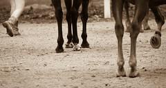Feet Repeat (Greg Adams Photography) Tags: ranch summer horses horse woman ny newyork feet shoes legs farm under dirt human horseshoe catskills ymca beneath frostvalley familycamp 2013 claryville frostvalleyymca hhsc2000