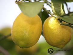 Under The Lemontree (jan-krux photography - thx for 2 Mio+ views) Tags: fruits southafrica pair fresh lemons citrus lemontree 50200mm e5 zd lomontree