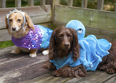 Mermaid and Octopus (Doxieone) Tags: wood party two dog brown english dogs halloween outside miniature costume colorful dress purple chocolate turquoise pair cream dachshund deck octopus mermaid dressed longhaired fixset