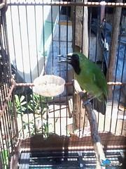 Photo-0062 (2) (massweko) Tags: alas hijau burung ijo baluran purwo banyuwangi cucak sarongan saraongan