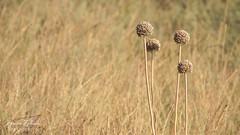 bronze (Laura Zulian) Tags: summer color bronze landscape erba minorca