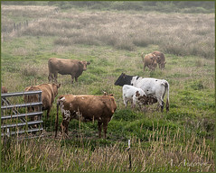 Out to Pasture in an Early Morning Mist (A Anderson Photography, over 1 million views) Tags: travel mist animal animals fog canon cattle cows nikcolorefexpro cathlametwa countrybackroads