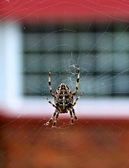 Incy wincy spider... (laufar1) Tags: