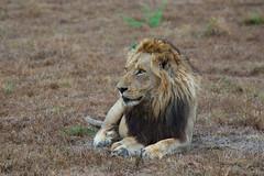 Male Lion (titan3025) Tags: africa game private drive south reserve safari sabi sands 2013 sdafrica