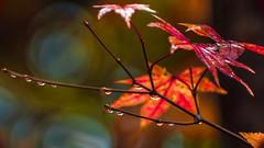 Leaf Reflections (pollylew) Tags: autumn rain acer waterdroplets wetleaves acerpalmatumosakazuki