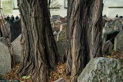The trees are still alive (@photobjorn) Tags: autumn trees fall prague cemetary czechrepublic d200 urbanscapes tokina12244 apsc colorefex