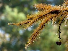 Larch (joeke pieters) Tags: tree nature drops bokeh ngc boom npc larch cones druppels lariks lariksappel platinumheartaward panasonicdmcfz150 1120212
