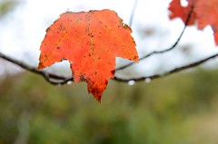 Hanging on! (shireye) Tags: red leaf nikon novascotia d7000