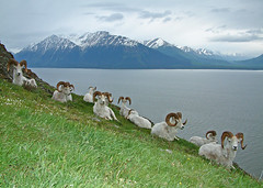 11 Dall Sheep Rams - Happy Thanksgiving Everyone!!! (AlaskaFreezeFrame) Tags: dall dallsheep dallrams rams horns alaska alaskafreezeframe fuji wideangle outdoors nature wildlife mammals mountains fall climbing digital turnagainarm cookinlet spring summer fujifilmfinepix fillflash scenic hiking closeup portrait beautiful unusual trust patience