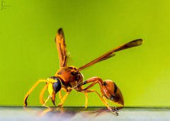 I'm not Afraid of ... (k.monsoor) Tags: macro nature bad hornet bangladesh