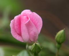 Little Pink Rose_8262_63 (Rikx) Tags: pink flowers flower macro rose photoshop garden explore bloom adelaide southaustralia pinkrose compositeimage