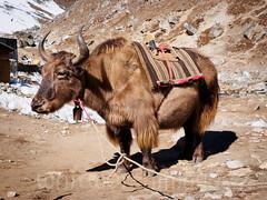 Yak (whitworth images) Tags: nepal yak animal trekking outdoors nationalpark high asia altitude domestic beast himalaya livestock khumbu everest bovine highaltitude domesticated sagarmatha lobuche solukhumbu sagarmathanationalpark