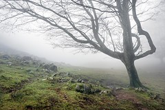 Árbol soliltario con niebla al uso (Mimadeo) Tags: morning light mist tree nature wet leaves misty fog forest landscape leaf haze branch natural path foggy foliage trail bark mysterious trunk lonely hazy solitary footpath beech pathway