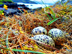 Oyster Catcher Eggs, Scullomie Pier, Mackay Country - Chloe Lynn Mackay