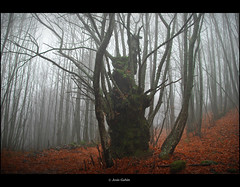 En el bosque a veces hay formas extranas (Jess Gabn) Tags: mist forest bosque niebla castao extremadura castaar sanmartndetrevejo sierradegata saariysqualitypictures mygearandme mygearandmepremium mygearandmebronze mygearandmesilver mygearandmegold blinkagain jesusgaban