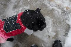 パグと雪と私(の長靴) (e_haya) Tags: snow nikon pug nikond7000