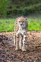 Cheetah (Nev 35) Tags: cat canon eos zoo wildlife bigcat 5d cheetah essex f28 70200mm f28l 2xextender canon70200mmf28 70200mmf28 canonites colchsterzoo 5dmk3 ef70200mmf28lisiiusm