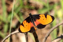 Acraea anemosa - Broad-bordered Acraea (zimbart) Tags: africa butterflies insects lepidoptera zimbabwe nymphalidae masvingo heliconiinae acraea acraeaanemosa