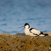 "Avocetta in cova • <a style=""font-size:0.8em;"" href=""https://www.flickr.com/photos/68553401@N06/12769011463/"" target=""_blank"">View on Flickr</a>"