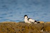 """Avocetta in cova • <a style=""""font-size:0.8em;"""" href=""""https://www.flickr.com/photos/68553401@N06/12769011463/"""" target=""""_blank"""">View on Flickr</a>"""