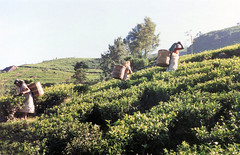 022. Tea picking Nuwara Eliya (johnguest43) Tags: srilanka teapicking
