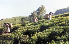 022. Tea picking Nuwara Eliya (johnguest43) Tags: srilanka teapicking