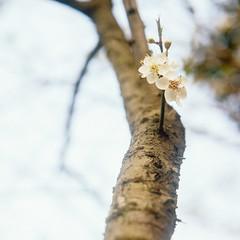 梅花 (richardhwc) Tags: guangzhou china flower 120 6x6 film rolleiflex mediumformat kodak 35e planar carlzeiss portra160 75mmf35 rolleinar2 coatingdegraded