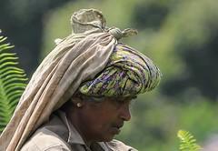 Tea Plantation Worker (15) (Richard Collier) Tags: people srilanka teapicker