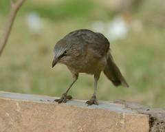 2014-03-16 Pune 2 (JanetandPhil) Tags: india birds nikon nikkor pune d800 largegreybabbler turdoidesmalcolmi puneokayamafriendshipgarden puladeshpandeudyan stateofmaharashtra businesstripstoindia