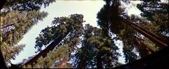 Sequoias (K e v i n) Tags: california ca trees summer vacation panorama film nature forest 35mm outside outdoors nationalpark lomography panoramic scan sierranevada sequoianationalpark sequoias publicland throughthesunroof horizonkompakt epsonv500 july2013 agfaxr400