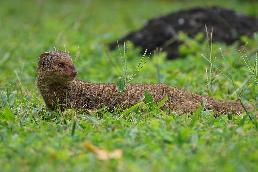 Image result for invasive mongoose hawaii