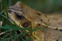 frog eye (Stuart Jones - hope you like what you see.) Tags: frog amphibian wildlife toad garden reptile grass slime slimy slippery hop jump eye catchlight calm macro closeup