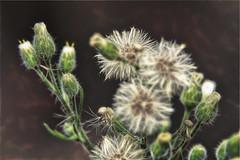 Blended Asteraceae_1045 (gtveloce) Tags: garden weeds blended fusedimages