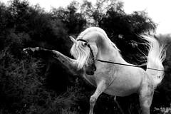 Arabian Stallion, Qatar. (www.ziggywellens.com) Tags: arabian stallion horse horses equine animal action movement qatar doha horsesrule