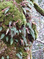 8415 Epiphytal ferns on a mossy tree trunk (Andy - Busyyyyyyyyy) Tags: 20170314 eee epiphytes ferns fff ggg green mmm moss tree ttt
