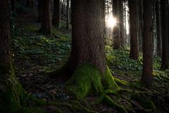 Sous bois (glassonlaurent) Tags: sous bois france haute savoie 74 forêt arbre mousse soleil