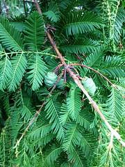 Metasequoia glyptostroboides-15 (The Tree Library (TreeLib.ca)) Tags: metasequoiaglyptosroboides dawnredwood metasequoiaglyptostroboides