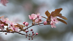 Spring Blossoms (Stefan Zwi.) Tags: 105mm f28 sigma sony a7 ilce7 emount farbe flora closeup macro nature background beauty blooming bloom green bokeh floral garden petal plant soft single outdoor gardening color offenblende prunus plum blutpflaume blüten blüte blossom ngc npc black cherry
