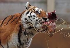 amurtiger Colinda Ouwehands BB2A1673 (j.a.kok) Tags: amurtiger amoertijger tijger tiger siberischetijger siberiantiger pantheratigrisaltaica kat cat asia azie colinda ouwehands ouwehandsdierenpark