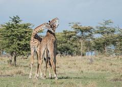 Giraffes play-fighting (Tris Enticknap) Tags: kenya africa giraffe nikkor80400mmafslens nikond750 maranorthconservancy masaigiraffe