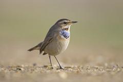 Bluethroat (J J McHale) Tags: lusciniasvecica bluethroat bird nature wildlife