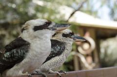 Kookaburra sisters (Bev-lyn) Tags: birds native wildlife outdoors kookaburra