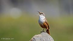 Canyon Wren (Bob Gunderson) Tags: birds california canyonwren catherpesmexicanes coyotelakecountypark northerncalifornia santaclaracounty southbay wrens