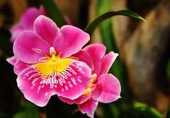 Orchid macro - Explore 4-8-17 (stevelamb007) Tags: chicagobotanicgarden stevelamb orchid flower macro nikon d7200 explore